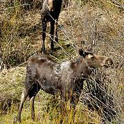 Moose (Alces alces) In willows. Fall. Montana.