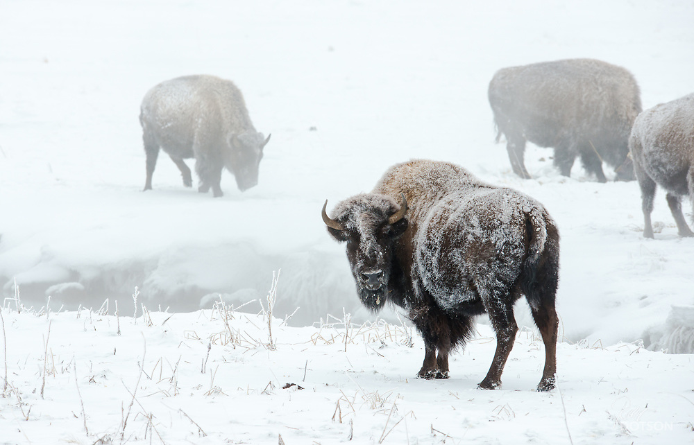 Cow bison sits amidst hanging fog near the Madison River.