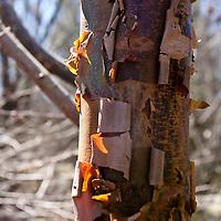 The shredding bark of the Paperbark Maple (Acer griseum).