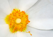 Close-up abstract of the centre of a white anemone flower growing in a Norfolk garden