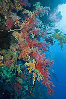 Soft Corals and Diver