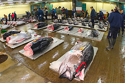 raw bluefin tunas, Thunnus sp., getting set for auction, Tsukiji Fish Market or Tokyo Metropolitan Central Wholesale Market, the world's largest fish market, hadling over 2, 500 tons and over 400 different kind of fresh sea food per day, Tokyo, Japan