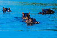 Hippos, near Kwara Camp, Okavango Delta, Botswana.