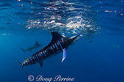 striped marlin, Kajikia audax (formerly Tetrapturus audax ), feeding on baitball of sardines or pilchards, Sardinops sagax, off Baja California, Mexico ( Eastern Pacific Ocean ) #5 in sequence of 7