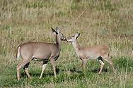 Deer visit an agricultural field on Sept. 23, 2017, near Salmon, Idaho. (© 2017 Cindi Christie/Cyanpixel)