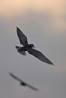 Whiskered Tern, (Chlidonias hybrida), Lake Skadar, Montenegro
