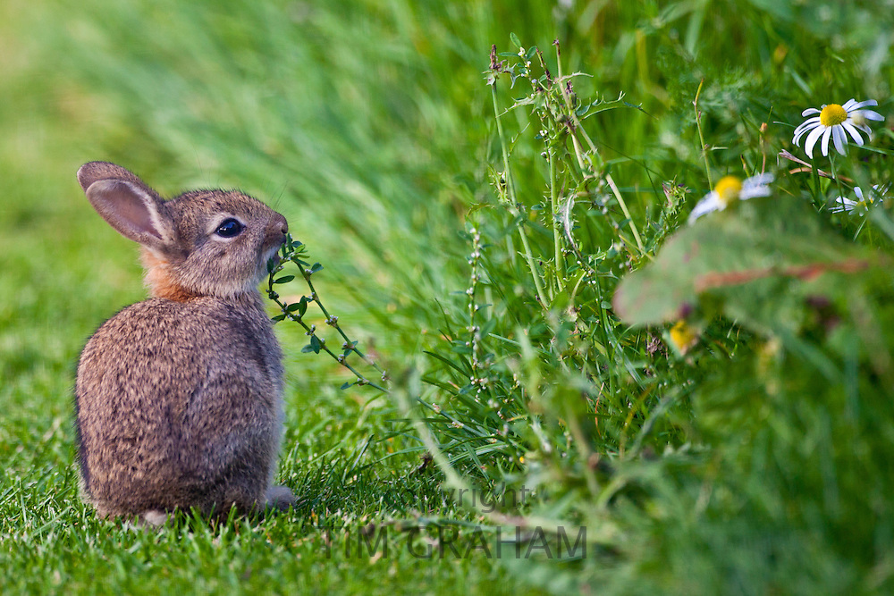 Wild young rabbit, a kit, smelling wildflower in country garden, The Cotswolds, Oxfordshire, United Kingdom