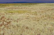 Fragrant grasses on the Kazakh Steppes, Kazakhstan