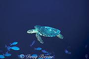 hawksbill turtle, Eretmochelys imbricata, Helen Atoll, Southwest Islands, Palau ( Belau ), Micronesia ( Western Pacific Ocean )