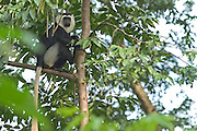 Black and white colobus monkey at the Baobeng-Fiema monkey sanctuary, Ghana, West Africa.