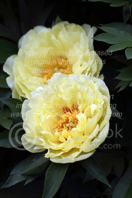Flowers - Peony