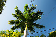 Roystonea regia (royal palm) in Hyde Park Garden, St. George's, Grenada, The West Indies, The Caribbean