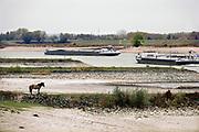 Nederland, the netherlands, Nijmegen, 25-10-2018 Nog nooit stond het water in de Waal zo laag . Binnenvaartschepen varen langs de oever en de ooijpolder. Door de aanhoudende droogte staat het water in de rijn, ijssel en waal extreem laag . Laagterecord en de laagste officiele stand ooit bij Lobith gemeten. Schepen moeten minder lading innemen om niet te diep te komen . Hierdoor is het drukker in de smallere vaargeul . Door te weinig regenval in het stroomgebied van de rijn is het de waterafvoer extreem weinig . Konikpaard kijkt naar de rivier.Foto: Flip Franssen