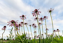 Purple coneflowers and blue sky on Blackland Prairie, High Point Park and Wildflower Preserve, Farmersville, Texas, USA. Check identification.