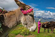 Donkey, Inca terraces of Moray,  Cusco Region, Urubamba Province, Machupicchu District, Peru