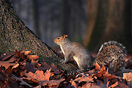 The last rays of the setting sun htting a nice specimen of grey squirrel (Sciurus carolinensis). Caught in the woods of the park of Stupinigi near Turin, Italy