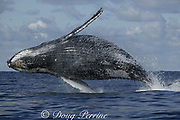humpback whale, Megaptera novaeangliae, lands in the water with a big splash after breaching while migrating up the Indian Ocean from feeding grounds in Antarctica toward breeding grounds in Mozambique, during the annual Sardine Run up the east coast of South Africa ( Indian Ocean )