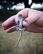 Blue-belly lizard, also known as a Western Fence Lizard, found in the woods of coastal California