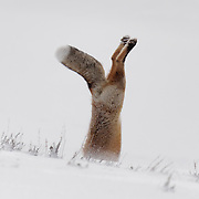 Red fox (Vulpes vulpes) jumps into the snow to grab a small rodent he is hunting. Yellowstone National Park