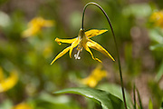 Erythronium grandiflorum (also called glacier lily, yellow avalanche lily, and dogtooth fawn lily). Burroughs Mountain loop trail, Mount Rainier National Park, Washington, USA.