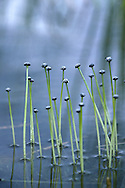 The narrow leaves are submerged but domed, flower heads are borne on emergent stems, up to 60cm tall (July-Sept). It grows in peaty pools and lakes in the west, and also, very locally, in NW Scotland, but its main global range is North America.