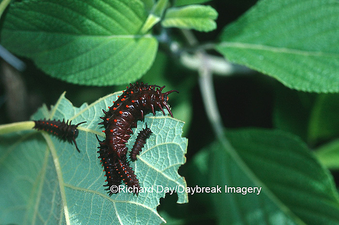 03004-00512 Pipevine Swallowtail (Battus philenor) caterpillars on Dutchman's Pipevine (Aristolochia macrophylla) Marion Co.  IL