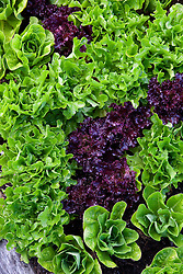 Patterns of mixed coloured lettuce leaves