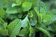 Close up selective focus photograph of Spearmint Leaves