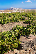 Low growing vines of Santorini, Greece .<br /> <br /> If you prefer to buy from our ALAMY PHOTO LIBRARY  Collection visit : https://www.alamy.com/portfolio/paul-williams-funkystock/santorini-greece.html<br /> <br /> Visit our PHOTO COLLECTIONS OF GREECE for more photos to download or buy as wall art prints https://funkystock.photoshelter.com/gallery-collection/Pictures-Images-of-Greece-Photos-of-Greek-Historic-Landmark-Sites/C0000w6e8OkknEb8