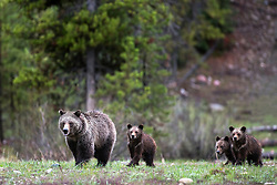 Momma Grizzly and her three cubs.  This is a grizzly sow known as Blondie, when her coat is dry she is really light in color.  Blondie and her family roam northern Grand Teton Park in Jackson Hole Wyoming