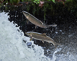 Migrating Coho salmon (Oncorhynchus kisutch) jump up Lake Creek Falls on a tributary of the Siuslaw River in western Oregon.