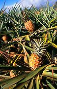 Pineapple, Hawaii, USA<br />