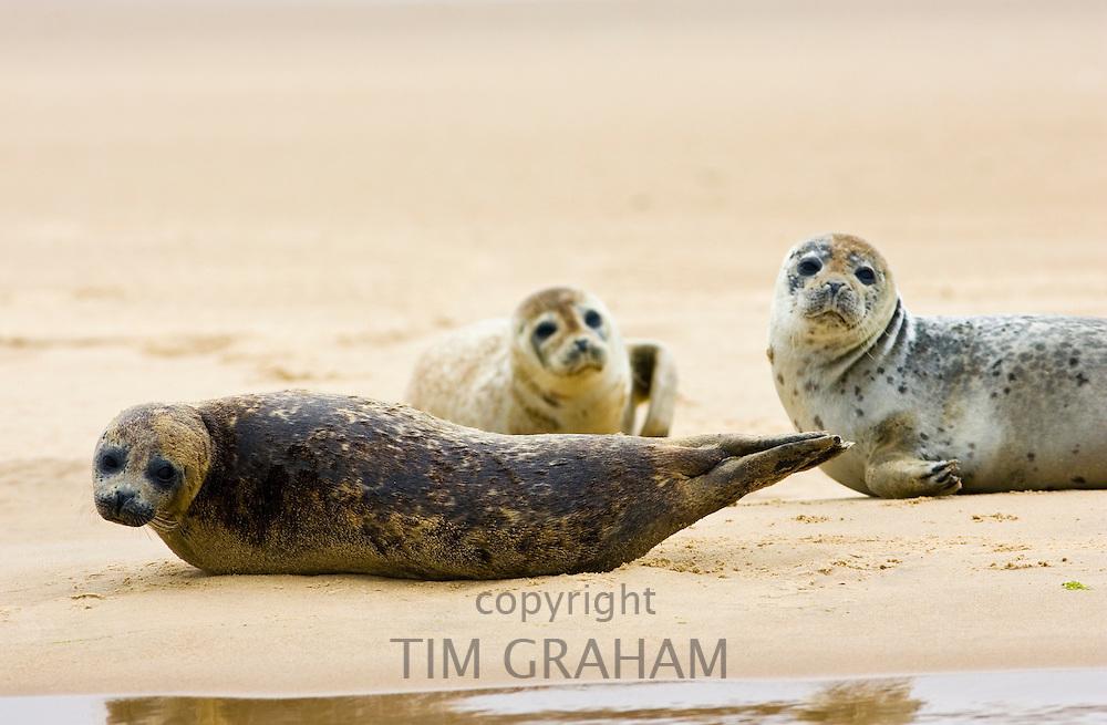 Common Grey Seals, Norfolk, United Kingdom