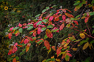 Red Osier Dogwood going to seed in autumn in the Flathead National Forest, Montana, USA
