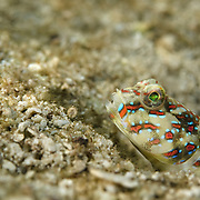 Blue speckled shrimp goby (Cryptocentrus caeruliomaculatus); shallow mangrove lagoon; Batasan, Danajon Bank, Bohol, Philippines © Michael Ready / iLCP
