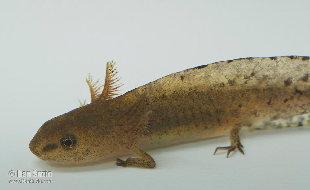 Rough-skinned newt, Taricha granulosa, in larval stage. Mendocino County, California