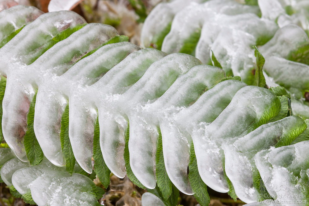 Ice forms on and mimics the shape of a deer fern (Blechnum spicant) located near the spray of Elowah Falls in the Columbia River Gorge, Oregon. Creeks and dozens of waterfalls in the area occasionally free over in the winter months, and mist can freeze to nearby plants.