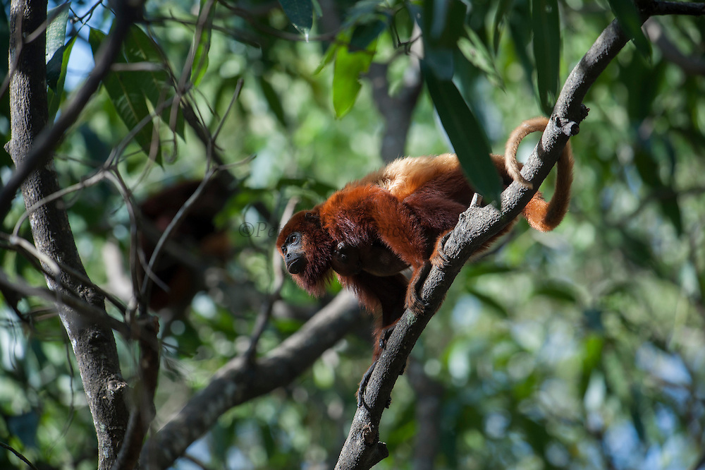 Red Howler Monkeys (Alouatta seniculus arctoidea) (3 sub-species in Venezuela)<br /> Hato Masaguarel working farm and biological station, Guárico Province, VENEZUELA. South America.<br /> Diurnal arboreal monkeys. They live in troops consisting of an adult male, several femals and their young. Females reproduce in any season but seem to prefer the dry season when there is plenty of fruit. Up to 2 young are born and are carried on her back. The males are very vocal and their calls are heard for several kilometers in the early mornings. Feed on leaves and fruit.<br /> The Llanos are flood plains stretching north of the Orinoco River to the Andean foothills, covering 300,000sq km in Venezuela and another 220,000 sq km in Colombia. This area has poor soil but is rich in its river systems which floods in the wet season leaving shallow marshes which nourish a high concentration of birds and animals.