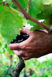 Tipica vendemmia manuale; l'uva è di tipo negramaro cresciuta su di un vigneto ad alberello pugliese di circa 30 anni di età; il vigneto si trova a San Pancrazio Salentino