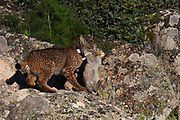 Iberian Lynx (Lynx pardinus) Male one year old with GPS tracking collar and Rabbit he has just caught.<br /> Sierra de Andújar Natural Park, Mediterranean woodland of Sierra Morena, north east Jaén Province, Andalusia. SPAIN<br /> RANGE: Iberian Penninsula of Spain & Portugal.<br /> CITES 1, CRITICAL - DANGER OF EXTINCTION<br /> Fewer than 200 animals in the wild. There is a reduced genetic variability due to their small population. They have suffered due to hunting, habitat loss and road accidents, but the most critical threat today is the reduced numbers of wild Rabbits (Oryctolagus cuniculus) within the lynx's range. The rabbits are the principal food source of the lynx and they are suffering from deseases such as Myxomatosis & Rabbit haemoragic virus. The lynx is also suffering from deseases such as feline leukaemia<br /> A medium sized cat weighing 12-15kgs, Body length 90cm, Shoulder height 45-50cm. They have a mottled fur pattern, (3 varieties of fur pattern found between the different populations and distinguishing them geographically)  short tail, ear tufts and are bearded. They are territorial cats although female cubs have been found to share their mother's territory. Mating occurs in Dec/Jan and cubs born around April. They live up to 13 years.<br /> <br /> Mission: Iberian Lynx, May 2009<br /> © Pete Oxford / Wild Wonders of Europe<br /> Zaldumbide #506 y Toledo<br /> La Floresta, Quito. ECUADOR<br /> South America<br /> Tel: 593-2-2226958<br /> e-mail: pete@peteoxford.com<br /> www.peteoxford.com