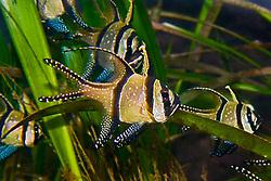Banggai cardinalfish, Pterapogon kauderni, found only around Banggai Islands off Sulawesi, Indonesia, severely endangered by aquarium trades, Indo-Pacific Ocean (c)