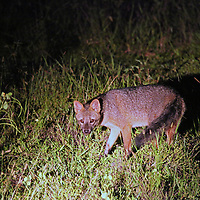 South America, Brazil, Pantanal. The crab-eating fox, a nocturnal mammal of the Pantanal.