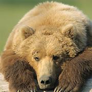 Alaskan Brown Bear (Ursus middendorffi) large male resting on driftwood. Katmai National Park, Alaska