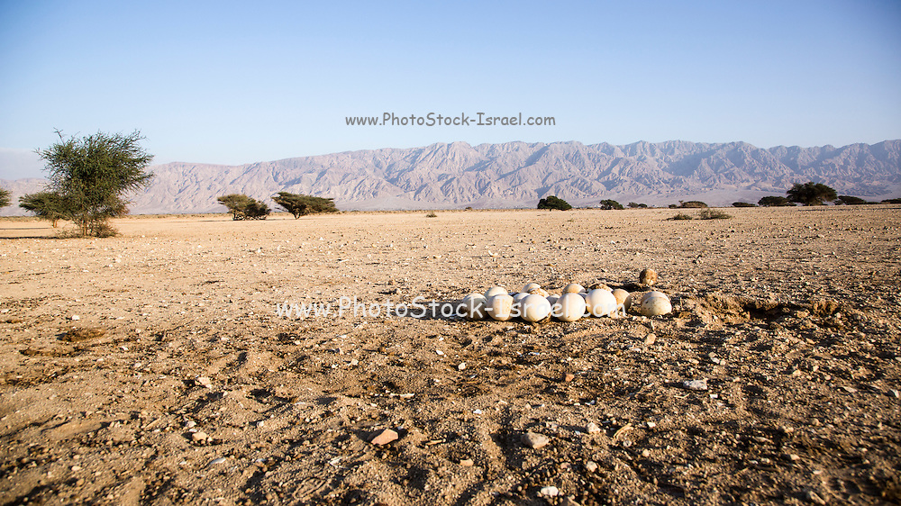 Ostrich nest (Struthio camelus) on the ground. The eggs can be seen in the foreground. Photographed in Israel