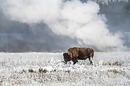 A tiny geyser in Yellowstone puts out big steam on a frigid morning in Yellowstone. The beauty of zub-zero Yellowstone, although uncomfortable is a wonderful experience. If I only had a fur coat like this bison.