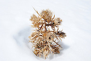 Dry mountain plant in snow, in the High Atlas Mountains.