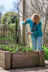 Putting in pea sticks to support peas in a raised bed
