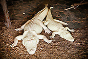 Rare albino American alligator (Alligator mississipiensis) with offspring relax on land in Myrtle Beach, SC.