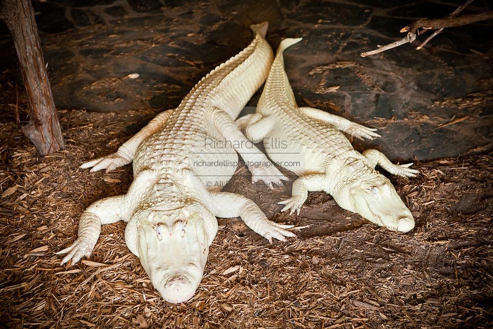 Rare albino American alligator (Alligator mississipiensis) with offspring relax on land in Myrtle Beach, SC.