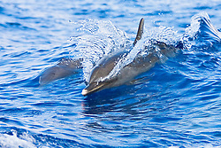 Pantropical Spotted Dolphin mother and calf, Stenella attenuata, riding boat wakes, off Kona Coast, Big Island, Hawaii, Pacific Ocean.